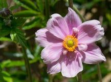 Close Up Of Purple Japanese Anemone Flower Royalty Free Stock Image