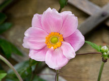 Close Up Of Purple Japanese Anemone Flower Stock Images