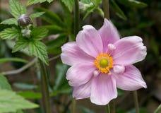 Close Up Of Purple Japanese Anemone Flower Royalty Free Stock Photos