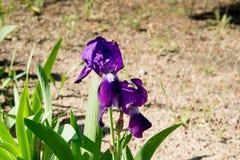 Close up of purple Japanese iris flowers. Blooming iris at the park. Stock Image