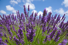 Close up of purple lavender in front of picturesque sky. Sommer Royalty Free Stock Images