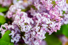 Close up of purple lilac flowers Royalty Free Stock Photo