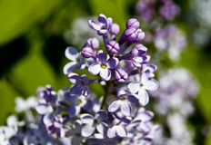 Close-up of purple lilac under the sun rays Stock Photos
