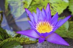 Close up of  purple lotus Stock Photo
