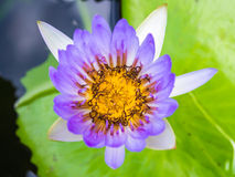 Close up of purple lotus flower Royalty Free Stock Photos