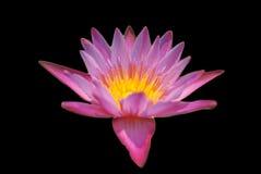 Close Up Purple Lotus Royalty Free Stock Images