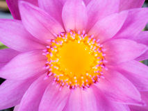Close up purple lotus Stock Photos