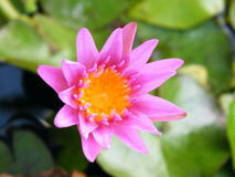 Close up Purple lotus Stock Image