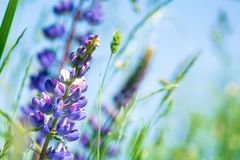 Free Close Up Purple Lupine Flowers. Soft Focus. Nature Background Royalty Free Stock Photo - 151413115