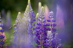 Close up of purple lupines in a meadow royalty free stock photo