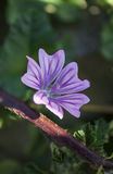 Close up of a Purple Mallow Flower during Spring Stock Images
