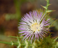 Milk Thistle Flower Royalty Free Stock Photos