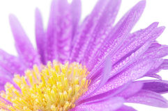 Close-up on purple mum flower Stock Image