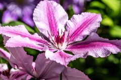 Close-up, purple Oh La La clematis flowers and pistils Royalty Free Stock Photo