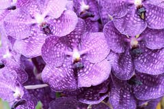 Close up of purple orchid Royalty Free Stock Photography