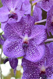 Close up of purple orchid Stock Photography