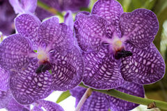 Close up of purple orchid Stock Images