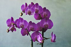 Close-up of purple orchid blossoms Royalty Free Stock Photography