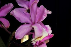 Close up of purple orchid flower. Nice purple orchid flowers. Macro lens. Close up Stock Photography