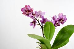 Orchid flowers on white background. Close up purple orchid flowers on white backgrounds in the spring Royalty Free Stock Photography