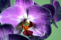 Close up of purple orchid. Providing detail of orchid anatomy and coloration Stock Images