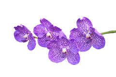 Close up purple orchid on white Stock Photo