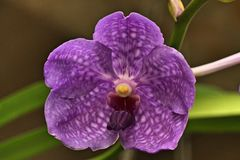 Close up of purple orchid. This is a wonderful kind of orchids flowers from Brazil Royalty Free Stock Photography