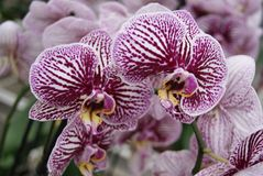 Close up of purple orchids. Some really beautiful purple and white colored orchids taken in a sharp close up with some other orchids at the background Stock Photo