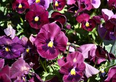 Close up of purple pansy flowers. Or pansies blooming in the garden. Close-up of blooming Spring Flowers. Season of flowering pansies. Pansy blooming in the stock image