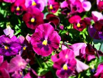 Close up of purple pansy flowers. Or pansies blooming in the garden. Close-up of blooming Spring Flowers. Season of flowering pansies. Pansy blooming in the royalty free stock photos