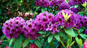Close-up of purple rhododendron flowers. Royalty Free Stock Image