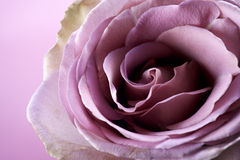 Close up of purple rose Royalty Free Stock Images