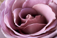Close up of purple rose Stock Photo