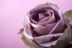 Close up of purple rose Royalty Free Stock Photography