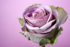 Close up of purple rose Royalty Free Stock Photos
