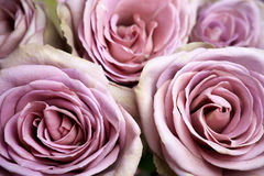Close up of purple rose Stock Image
