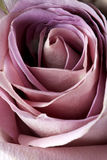 Close up of purple rose Royalty Free Stock Photo