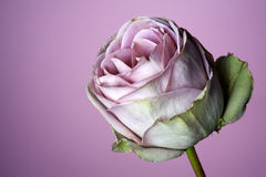 Close up of purple rose Stock Images