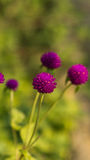 Close-up of a purple round flowers in a field. Stock Images
