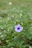 Close up purple Ruellia flower (Hygrophila erecta) Royalty Free Stock Image