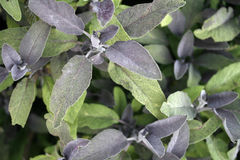 Close up of Purple Sage leafs Royalty Free Stock Photo