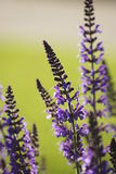 Close up of purple sage, salvia. Stock Image