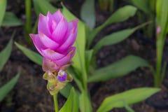 Close up of purple Siam Tulip Stock Image