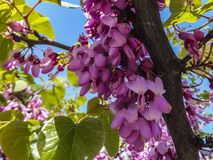Close-up of purple spring blossom of Eastern Redbud, or Eastern Redbud Cercis canadensis n sunny day. Selective focus. Nature concept for design royalty free stock photos