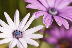 Close up of Purple Sunflowers Stock Image