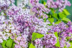 Close-up for purple Syringa vulgaris flowers.  Royalty Free Stock Images