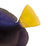 Close-up of a Purple tang's caudal fin, Zebrasoma xanthurum. Isolated on white royalty free stock image