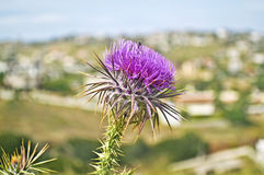 Close up of a purple thistle flower with a bee royalty free stock image