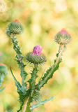 Close up of purple thistles in summer. On yellow green bokeh  background Royalty Free Stock Photos