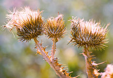 Close up of purple thistles in summer Stock Images